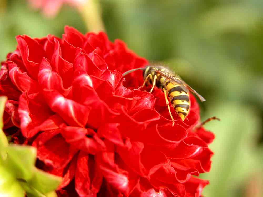 Wasp Landing On A Flower